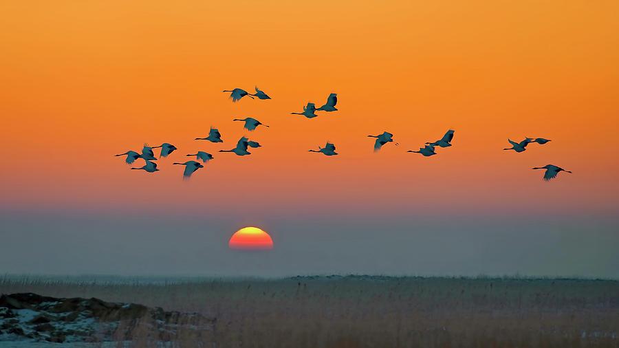 Crane Photograph - Red-crowned Crane by Hua Zhu