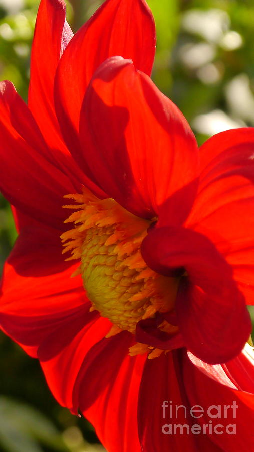Dahlia Photograph - Red Dahlia Elegance by Christiane Schulze Art And Photography