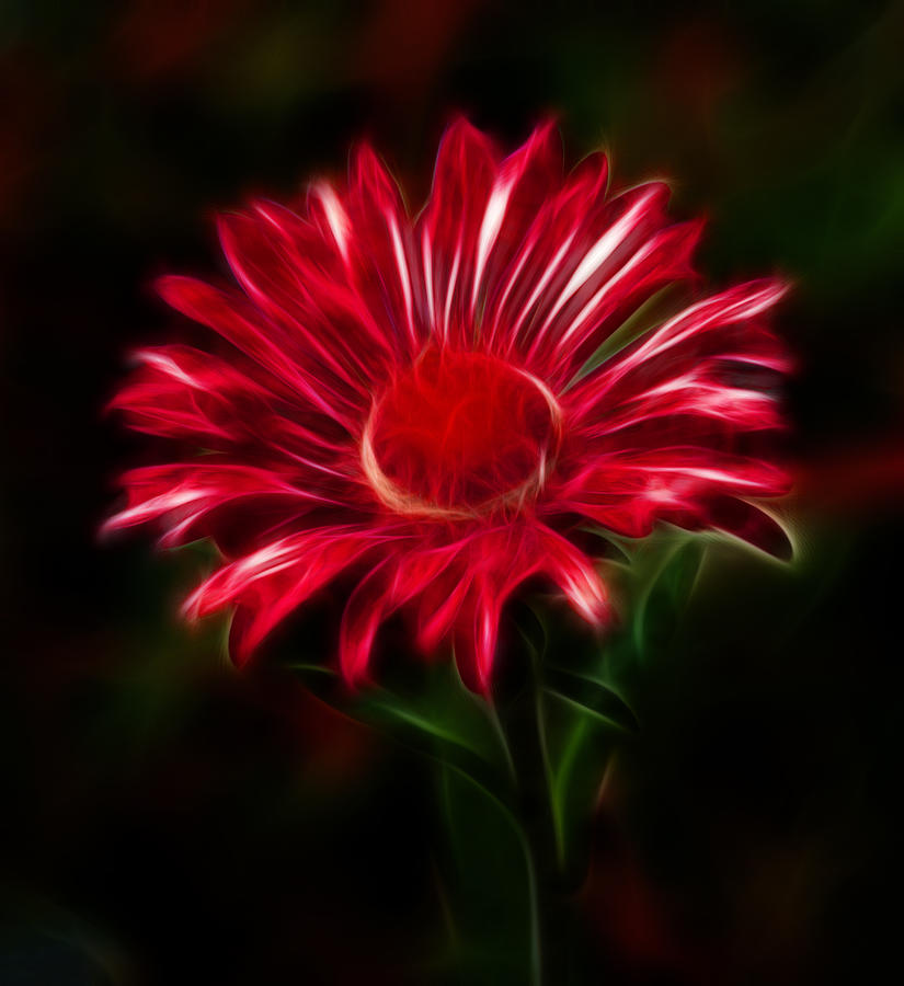 Red Daisy Photograph by Shane Bechler