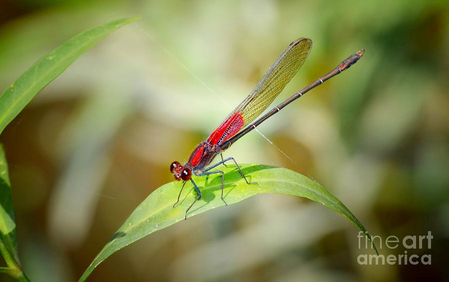 Damselfly Photograph - Red Damselfly by Peggy Franz