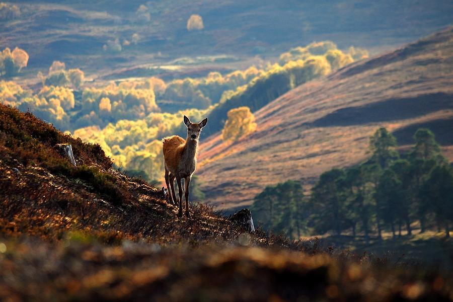 Deer Photograph - Red Deer Calf by Macrae Images