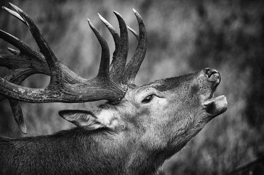 Red Deer I by Stefan Nielsen