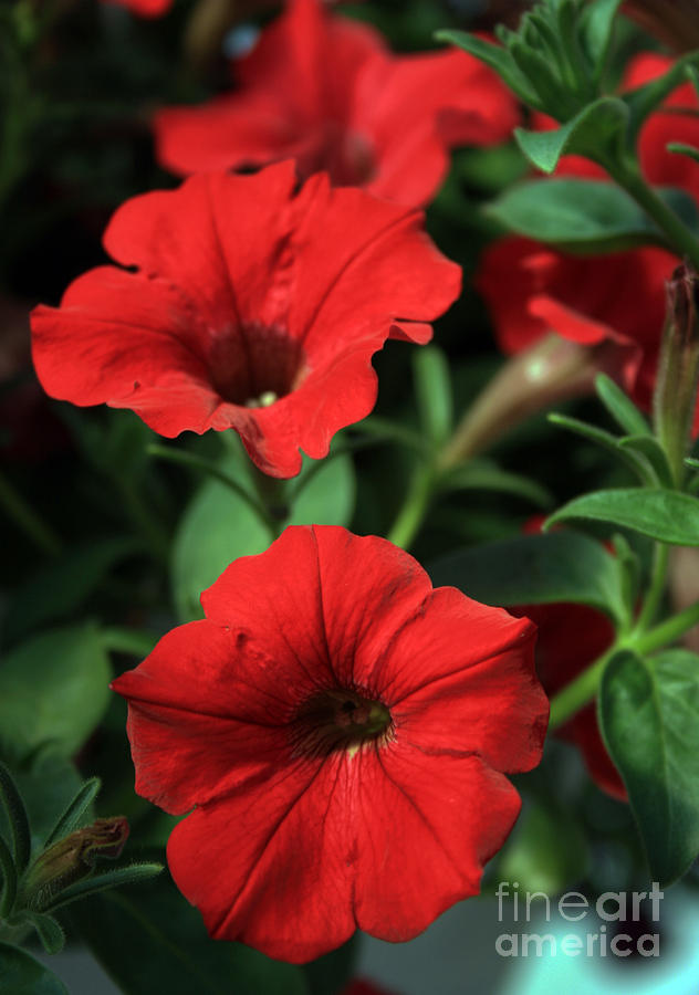 Flowers Photograph - Red Delight by Kathy DesJardins