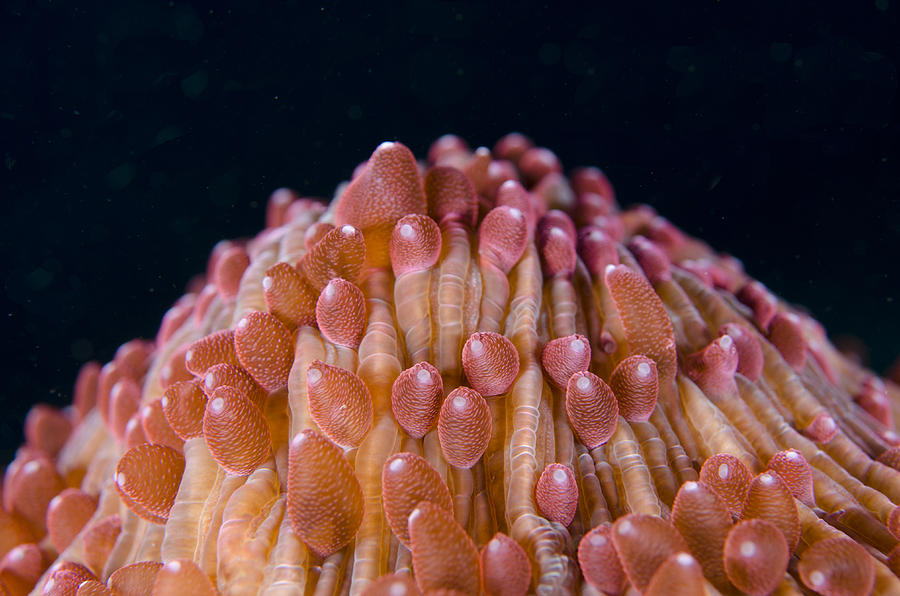 Red Disc Coral Polyps Sulawesi Photograph by Colin Marshall