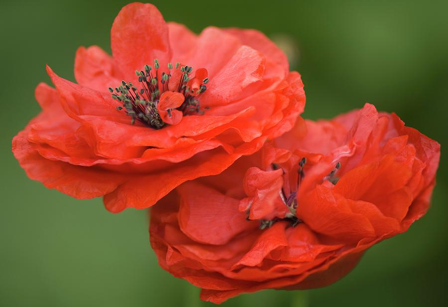 Papaver Rhoeas Photograph - Red Double Shirley Poppies by Maria Mosolova