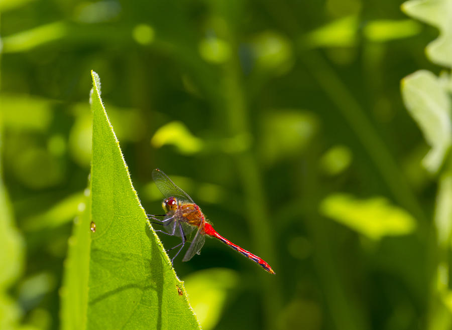 Red Dragonfly Photograph