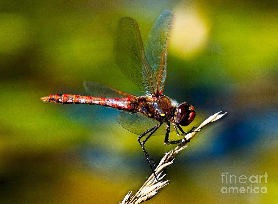 Red Dragonfly Photograph - Red Dragonfly by Mae Wertz