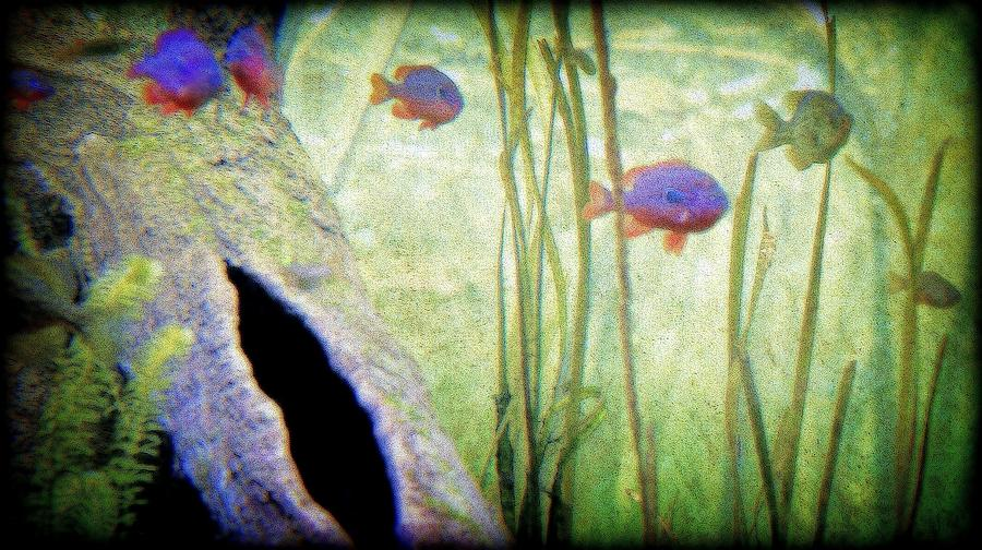 Pure Michigan Photograph - Red Eared Bluegills by Rosemarie E Seppala