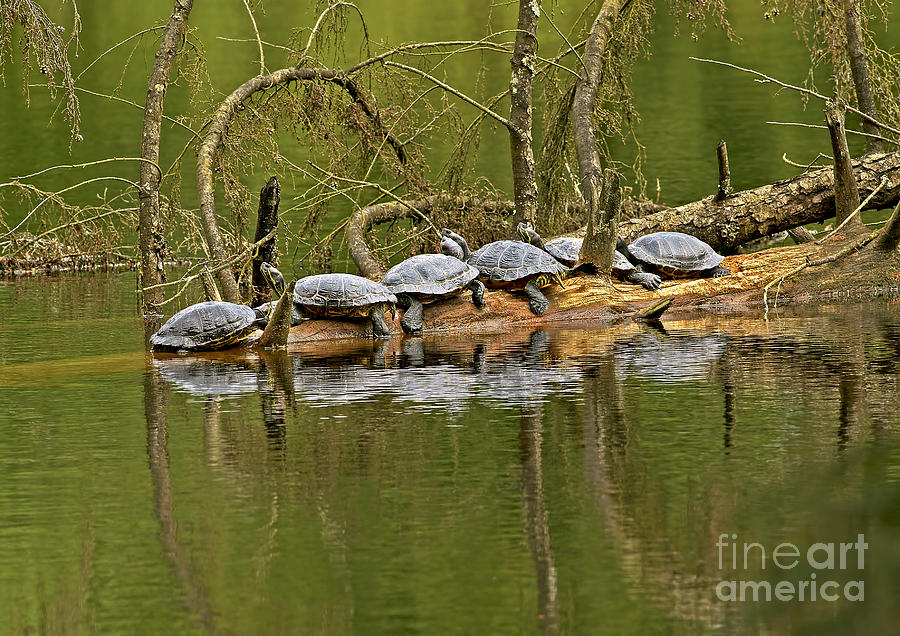 Red-eared Sliders Photograph - Red Eared Slider Turtles 2 by Sharon Talson