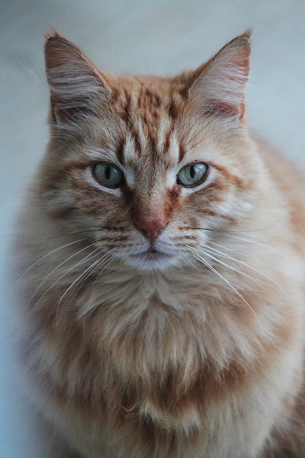 Cat Photograph - Red by Ella Char