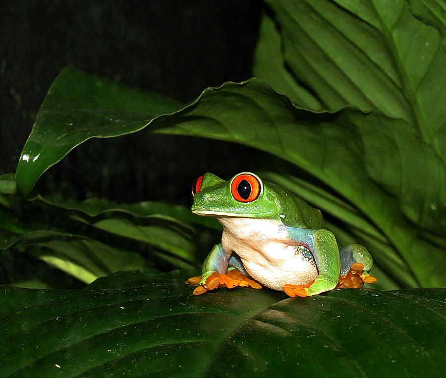 Frog Photograph - Red Eyed Green Tree Frog by MTBobbins Photography
