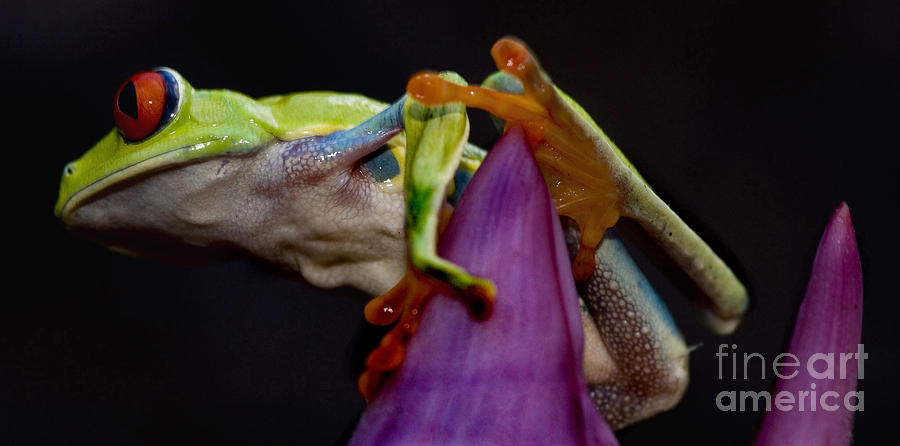 Red Eyed Tree Frog Photograph - Red Eyed Tree Frog by Bob Christopher