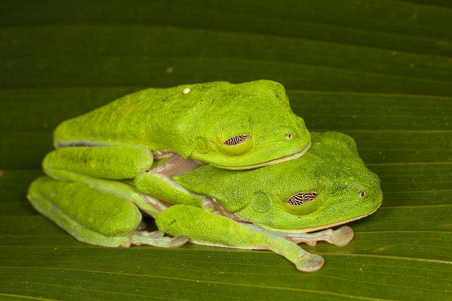 Red-eyed Tree Frogs In Amplexus Sleeping Photograph by Ingo Arndt