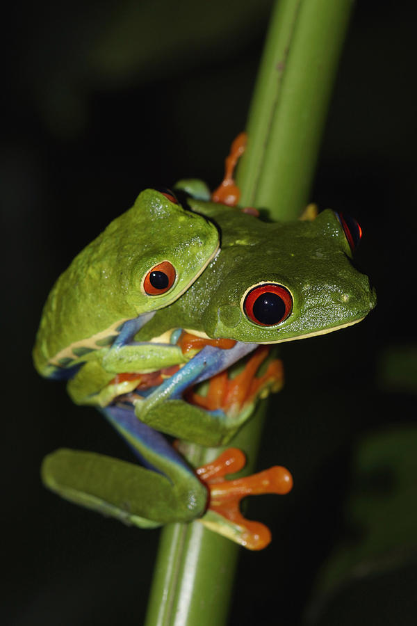 Red-eyed Tree Frogs Mating Costa Rica Photograph by Hiroya  Minakuchi
