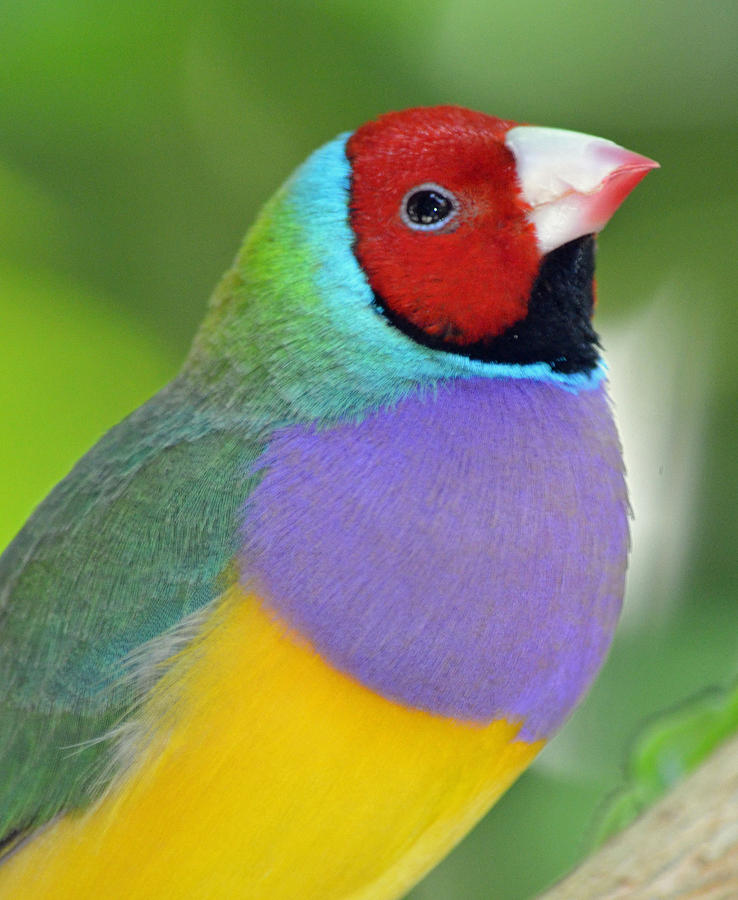 Male Photograph - Red Faced Gouldian Finch by Richard Bryce and Family