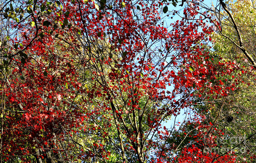 Autumn Photograph - Red Fall Foliage by Tina M Wenger