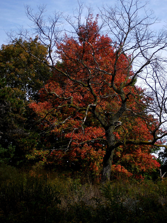 Nature Photograph - Red Fall Maple Tree by Michel Mata