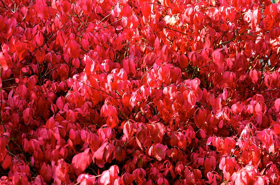 Leaves Photograph - Red Fall by Stephanie  Bland