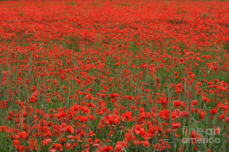 Red field by Simona Ghidini