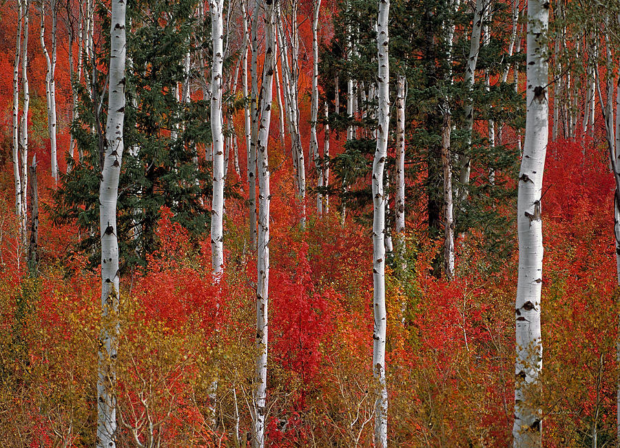 Aspen Forest Photograph - Red Forest by Leland D Howard