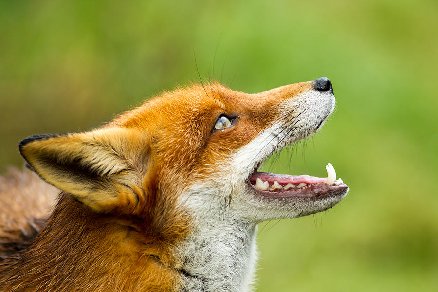 Red Fox - Vulpes Vulpes Photograph by George Cox