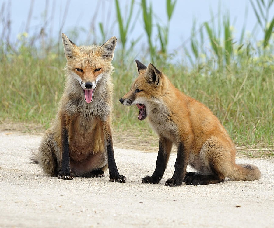 Wildlife Digital Art - Red Fox And Kit Bored  by Angel Cher
