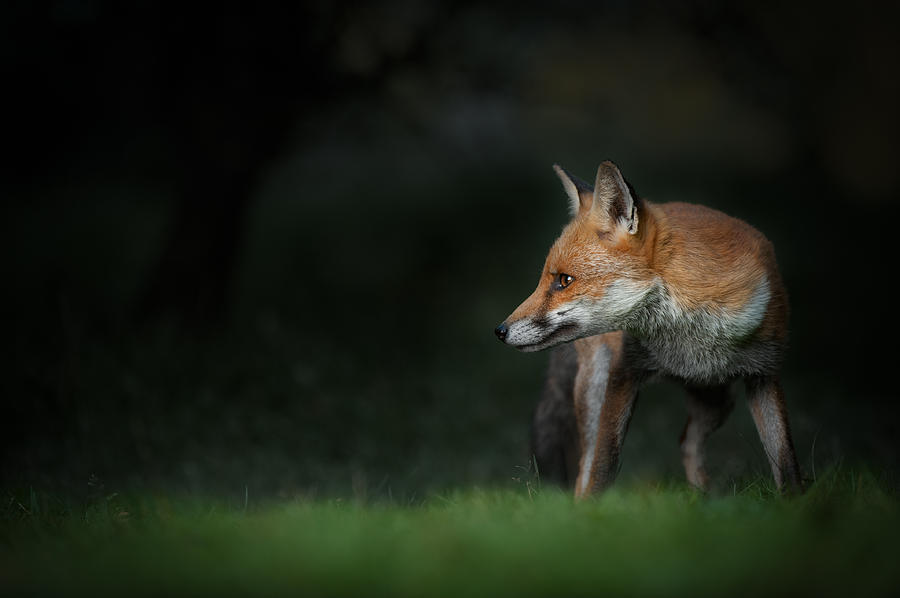 Alert Photograph - Red Fox by Andy Astbury