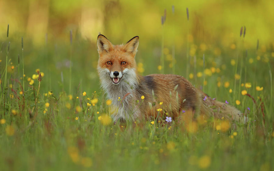 Fox Photograph - Red Fox by Assaf Gavra