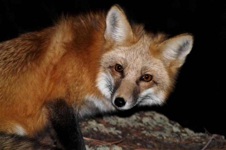 Red Fox At Night Photograph By Marilyn Burton