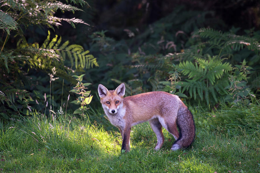 Red Fox Cub At The Edge Of A Forest Photograph by James Warwick