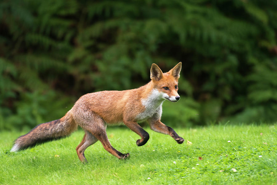 Red Fox Cub Running Photograph by James Warwick