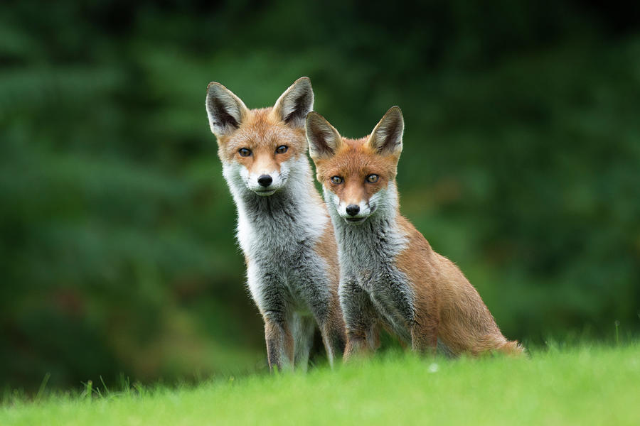 Red Fox Cub With Parent Photograph by James Warwick