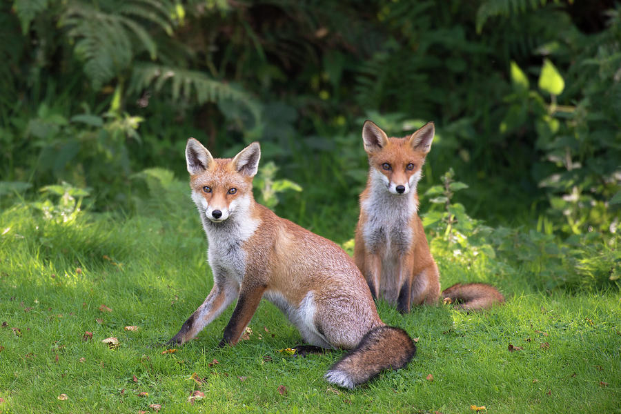 Red Fox Cubs At The Edge Of A Forest Photograph by James Warwick