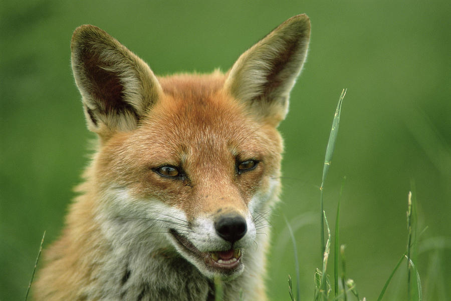 Vulpes Vulpes Photograph - Red Fox by Duncan Shaw/science Photo Library