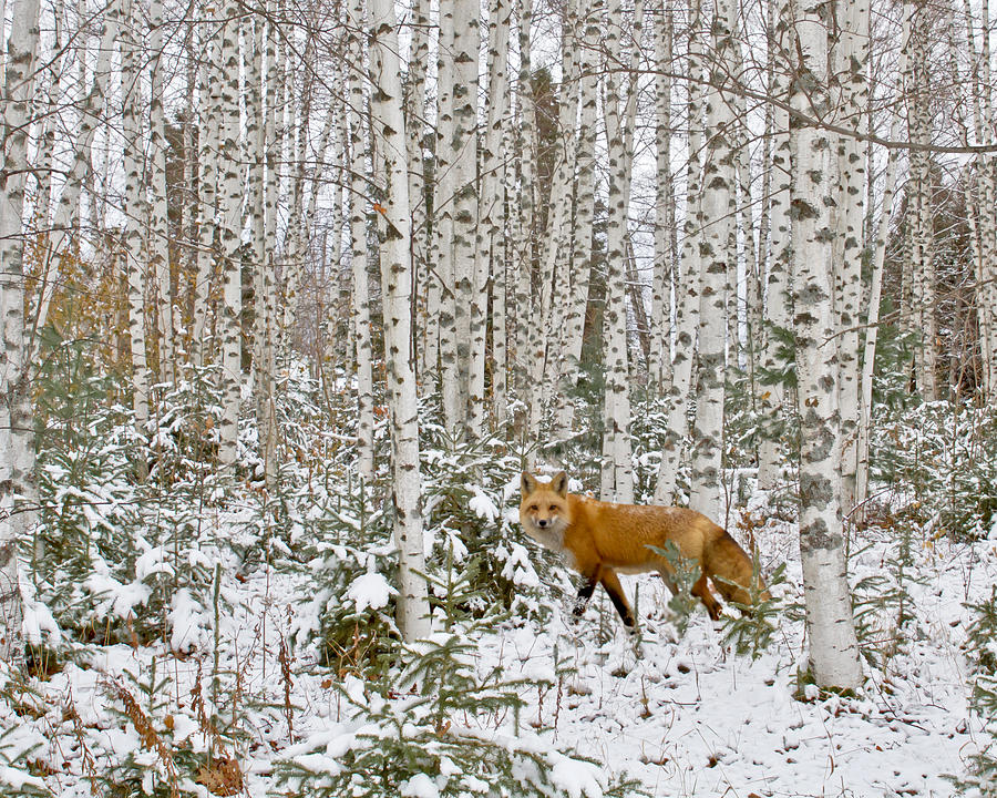 Barn Photograph - Red Fox In Birches by Jack Zievis