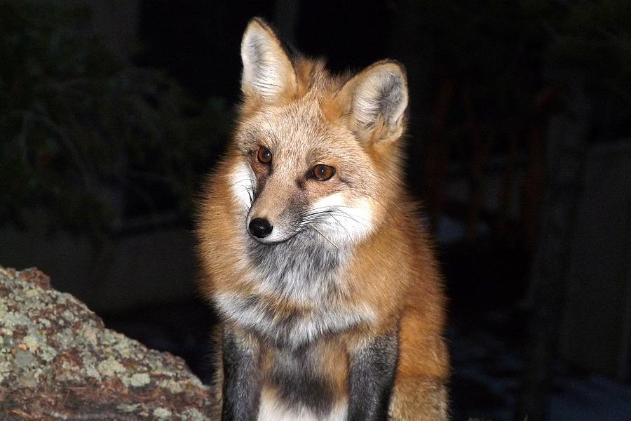 Red Fox In The Dark Photograph By Marilyn Burton