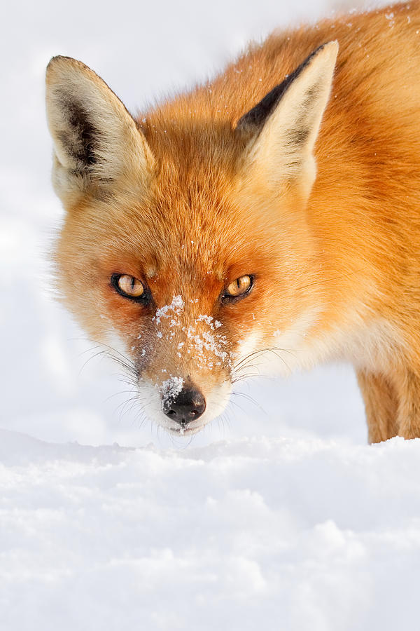 Fox Photograph - Red Fox In The Snow by Roeselien Raimond