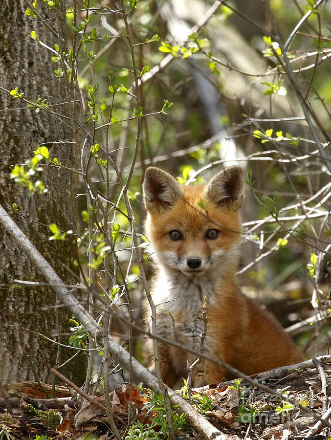 Red Fox Photograph - Red Fox Kit by Roger Bailey