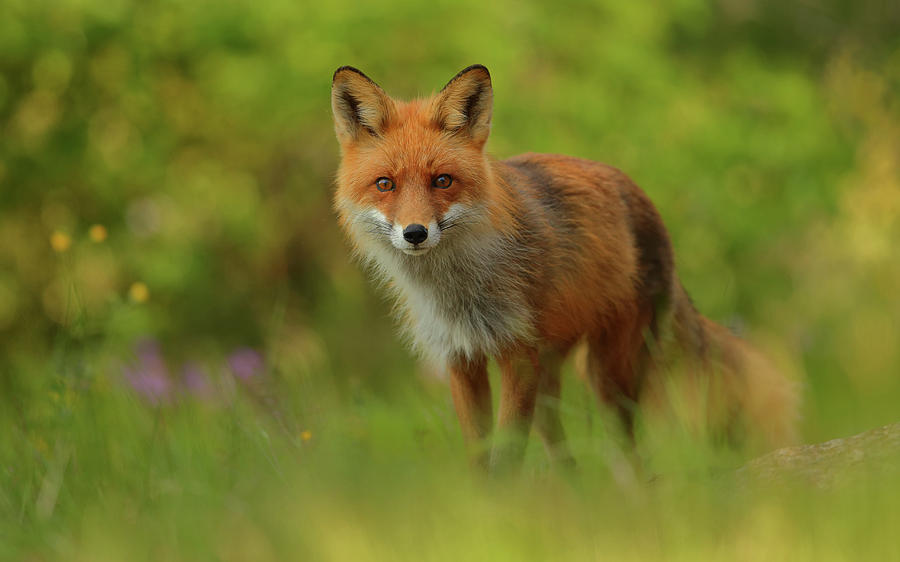 Red Fox Photograph - Red Fox Lady by Assaf Gavra