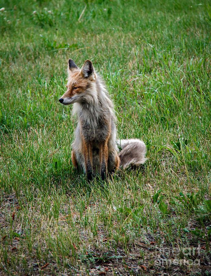 Vulpes Vulpes Photograph - Red Fox Portrait by Robert Bales