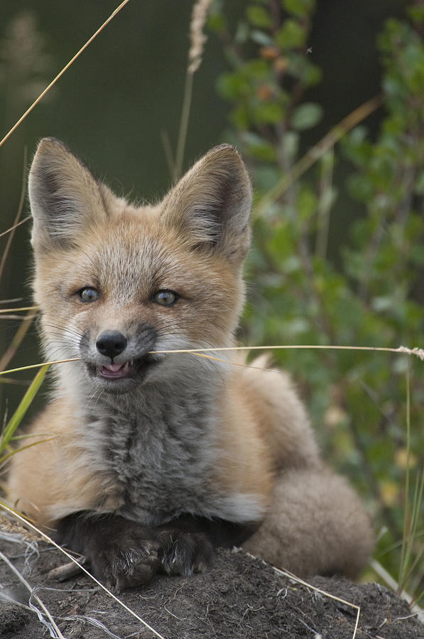 Red Fox Pup Nibbling On Grass Alaska Photograph by Michael Quinton