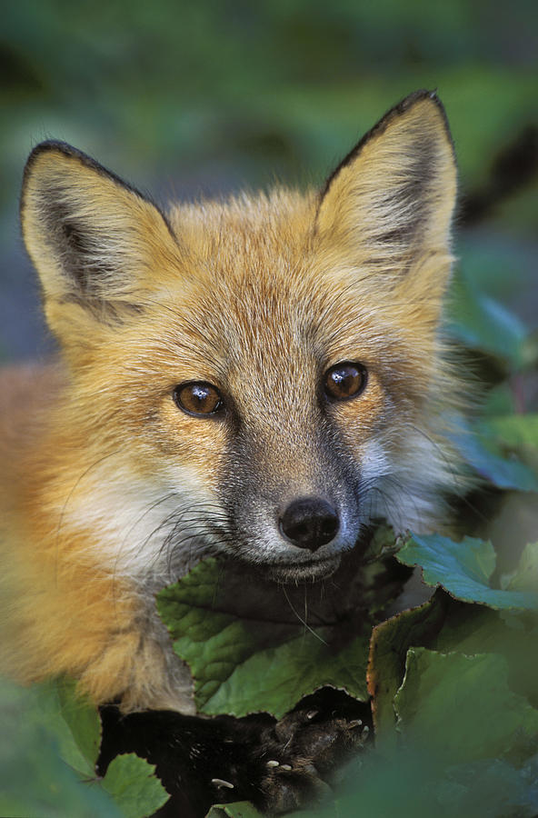 Light Photograph - Red Fox Vulpes Vulpes, Gros Morne by Thomas Kitchin & Victoria Hurst