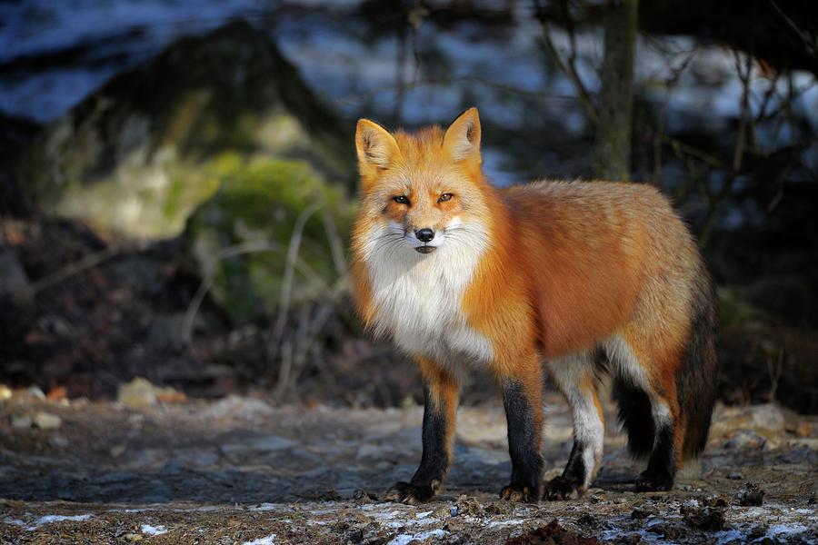 Red Fox, Vulpes Vulpes Photograph by Raimund Linke