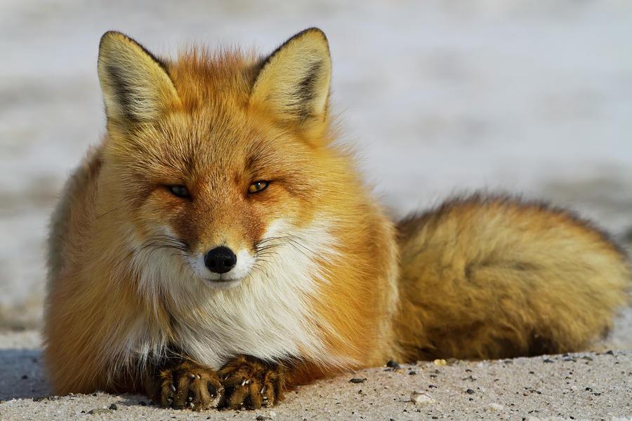 Red Fox  Vulpes Vulpes  Resting by Gary Schultz