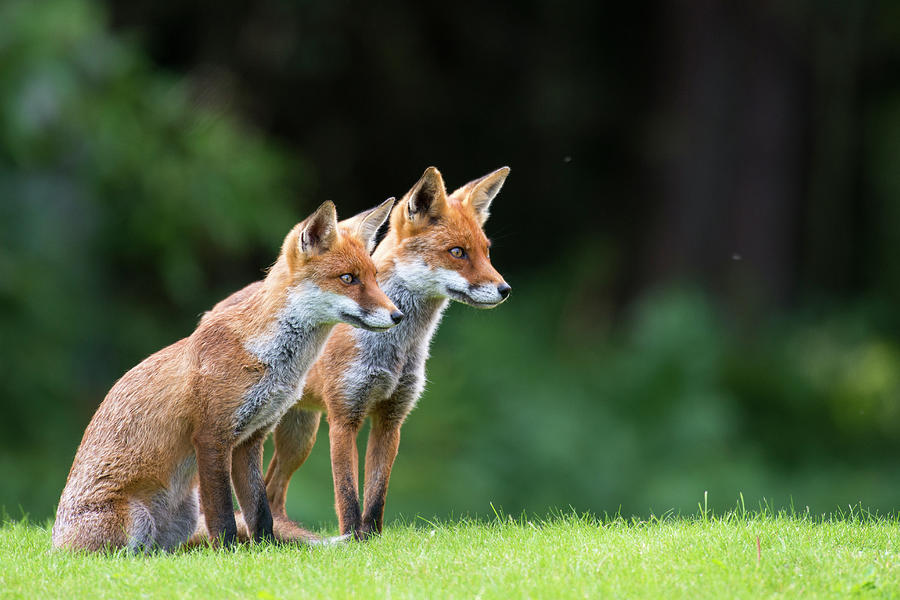 Red Foxes On Alert Photograph by James Warwick
