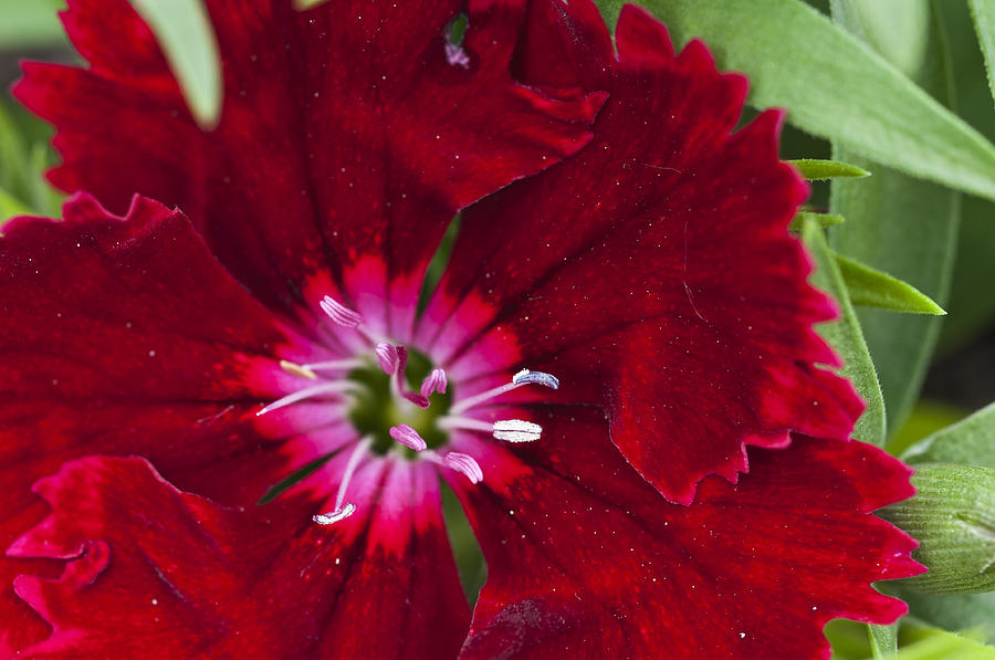 Red Geranium Photograph - Red Geranium 1 by Steve Purnell