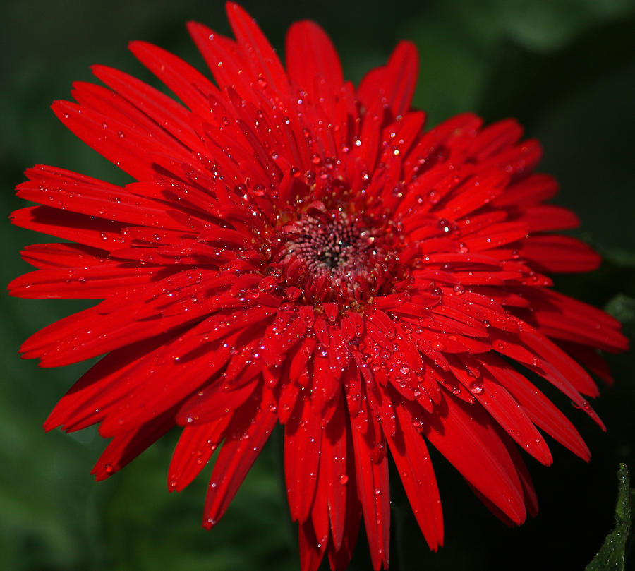 Photograph Photograph - Red Gerbera Daisy Delight by Suzanne Gaff