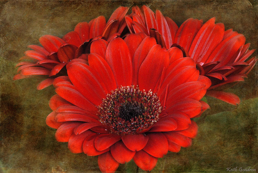 Red Photograph - Red Gerberas by Keith Gondron