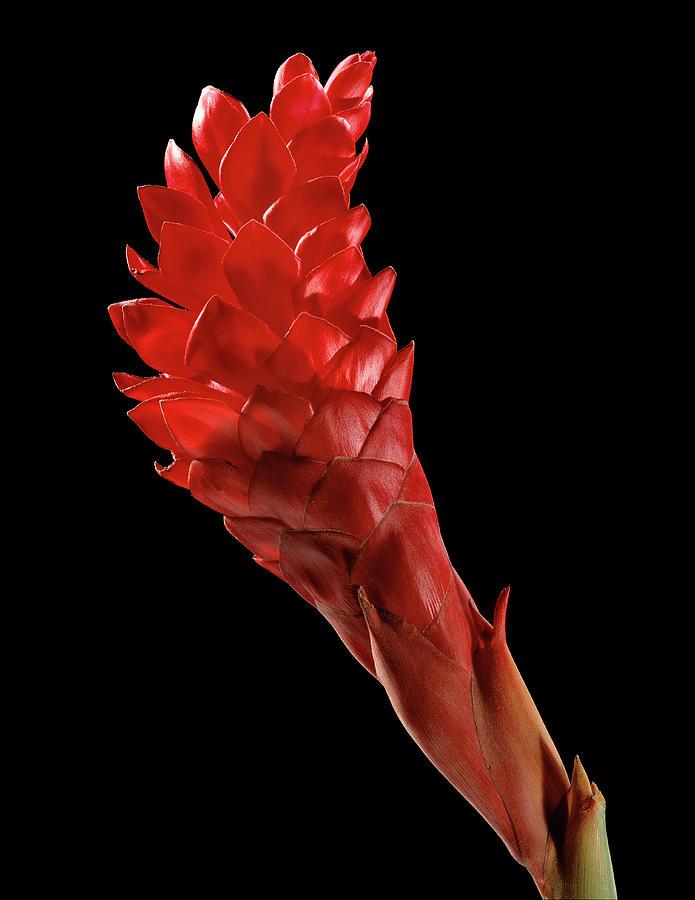 Alpinia Purpurata Photograph - Red Ginger (alpinia Purpurata) by Gilles Mermet