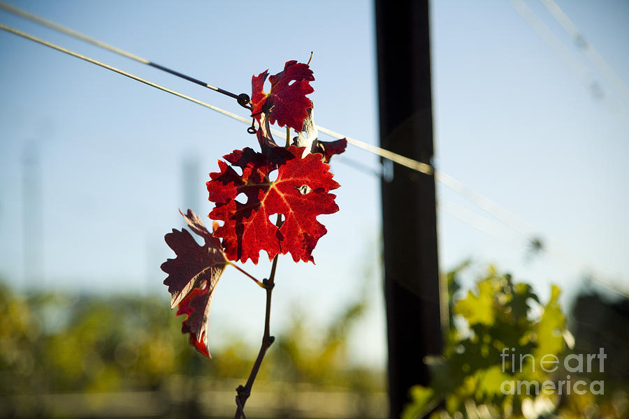California Photograph - Red Grape Leaves by Charmian Vistaunet